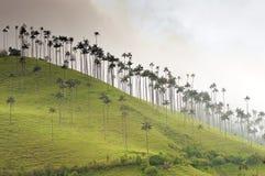 Palme di cera giganti su una collina nebbiosa Fotografie Stock