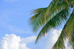Palme di chiavi di Florida con i grandi cumuli nel backgro Fotografie Stock