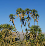 Palme di Doum nella riserva naturale di Evrona, Israele Fotografie Stock