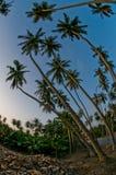 Palme di noce di cocco Fotografia Stock