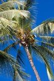 Palme di noce di cocco piene Fotografia Stock Libera da Diritti