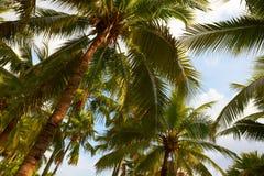 Palme di noce di cocco tropicali su cielo blu pieno di sole fotografia stock