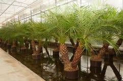 Palme di Phoenix in una scuola materna della pianta di hydroculture Fotografie Stock