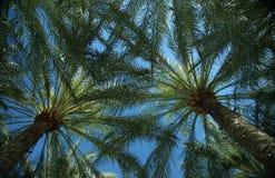 Palme di ventilatore messicane contro cielo blu fotografia stock