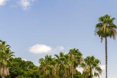 Palme e del cielo blu Immagine Stock