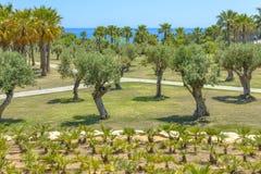 Palme e dell'oliva Fotografia Stock