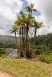 Palme endemica pajua und Zeichen mit dem Palmennamen und Fluss im backgraund in Nationalpark alejandro Des Humboldt nahe baracoa  lizenzfreie stockfotos