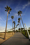 Palme esili in Long Beach, California fotografia stock libera da diritti