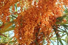 Palme-Früchte Lizenzfreie Stockfotografie
