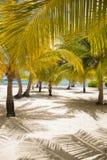 Palme fresche di sguardo alla spiaggia Fotografia Stock