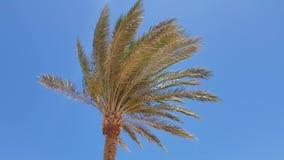 Palme gegen den blauen Himmel stock video footage