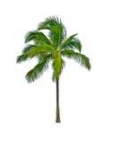 Palme getrennt auf Weiß stockfotografie