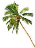 Palme getrennt auf weißem Hintergrund Stockfotografie