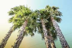 Palme high against the sky. Beautiful view of palm trees, joining together in a crown Stock Image