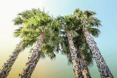 Palme hoch gegen den Himmel Stockbild