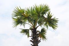 Palme im blauen Himmel Lizenzfreie Stockbilder