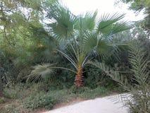 Palme im Park, Dubai, UAE stockfoto