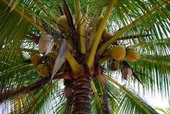 Palme-Kokosnüsse Lizenzfreie Stockbilder