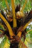 Palme-Kokosnüsse Stockfotos