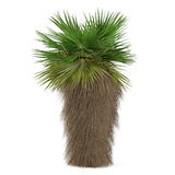 Palme lokalisiert. Washingtonia-filifera stockbild