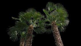 Palme lokalisierter Baum stock footage