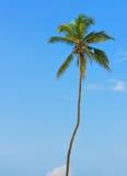 Palme mit der Frucht der Kokosnuss Stockfotos