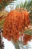 Palme mit Früchten Stockbilder