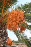Palme mit Früchten Lizenzfreies Stockbild