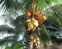 Palme mit gelben Kokosnüssen Stockfotografie