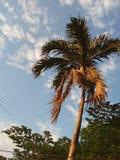 Palme mit getrocknet herauf Blätter Lizenzfreies Stockfoto