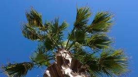 Palme mit Grün lässt das Beeinflussen auf Wind gegen blauen Himmel, niedrigen Winkel stock video footage