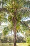 Palme mit grünen Kokosnüssen Lizenzfreies Stockfoto