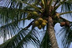 Palme mit Kokosnüssen Lizenzfreie Stockfotografie