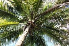 Palme mit Kokosn?ssen lizenzfreies stockbild