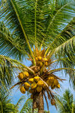 Palme mit Kokosnüssen Stockfotos