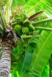 Palme mit natürlichen grünen Kokosnüssen Lizenzfreies Stockfoto