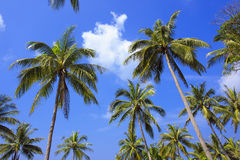 Palme mit sonnigem Tag thailand Koh Samui-Insel Lizenzfreie Stockbilder