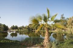 Palme nahe bei einem Teich im ländlichen Park Stockbilder