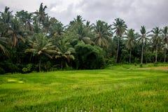 Palme nei campi del terrazzo del riso, Ubud, Bali, Indonesia immagine stock libera da diritti