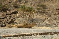 Palme nei wadi aridi Fotografie Stock