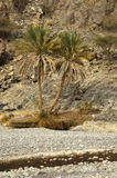Palme nei wadi aridi Fotografia Stock