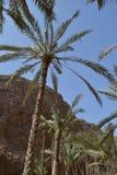 Palme nell'Oman Immagini Stock Libere da Diritti
