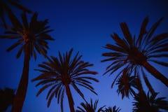 Palme nella sera o nella notte Fotografia Stock Libera da Diritti