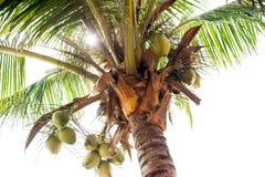 Palme - palme perfette, noci di cocco sul palma Fotografia Stock