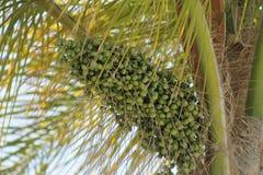 Palme-Samen-Hülsen Stockbild