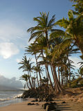 Palme su una spiaggia hawaiana Fotografia Stock Libera da Diritti