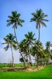 Palme sul giacimento del riso Fotografie Stock