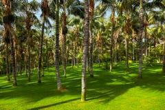 Palme a Tenerife - Isole Canarie Fotografie Stock