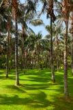Palme a Tenerife - isole Canarie Fotografia Stock Libera da Diritti