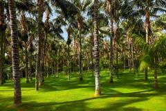 Palme a Tenerife - Isole Canarie Immagini Stock